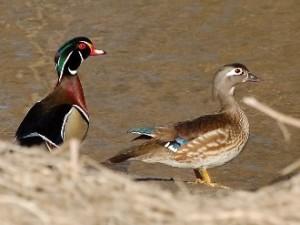 wood-ducks_original