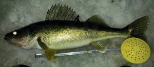 25 inch walleye caught on 1-18-2016 - (jiggineye69)