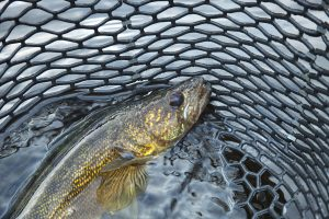 A close up shot of a nice walleye in a fishing net